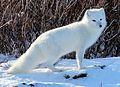 Arctic fox (6375702297).jpg