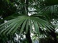 Arecaceae-zhejiang2005-2.JPG