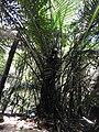 Arenga wightii-2-meenmudii-kerala-India.jpg
