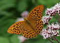 Argynnis paphia - Silver-washed Fritillary butterfly.jpg