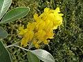 Argyrocytisus battandieri, Wisley Gardens, England 1.jpg