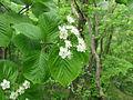 Aria alnifolia 1.JPG