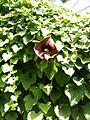 Aristolochia.2611.JPG