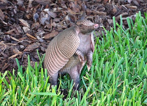Armadillo-Florida-3000x2175 4.4MB-2009