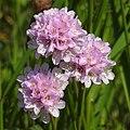 Armeria maritima subsp elongata RF.jpg