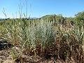 Artemisia absinthium (28606348926).jpg
