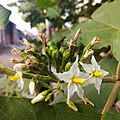 Arya - Solanum torvum in Indonesia - tekokak - Olahraga 2019 1.jpg