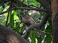 Asian koel (Female) 05.jpg
