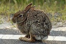 Assateague rabbit MD1.jpg