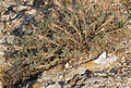 Astragalus sp. 03.jpg