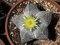 Astrophytum myriostigma 6.JPG