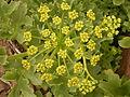 Astydamia latifolia (Barlovento) 02 ies.jpg