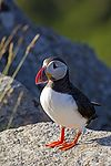Atlantic Puffin.jpg