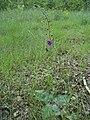 Atlas roslin pl Dziewanna fioletowa 158 8160.jpg