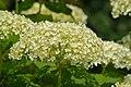 Atlas roslin pl Hortensja ogrodowa 3797 7167.jpg