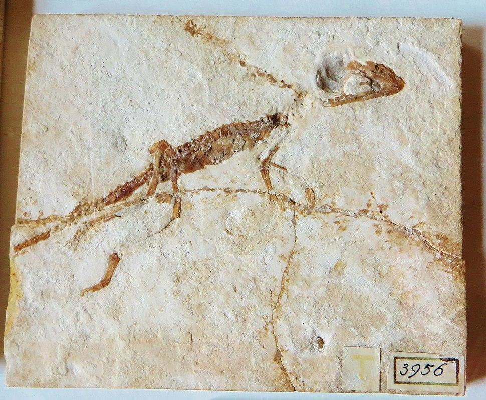 Atoposaurus oberndorfi Teylers