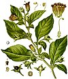 Atropa belladonna - Köhler–s Medizinal-Pflanzen-018.jpg