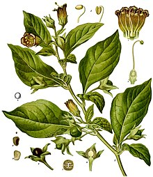 Illustration from Köhler's Medicinal Plants 1887