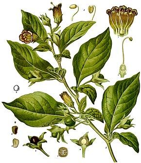 ces plantes qui font du bien. 290px-Atropa_belladonna_-_K%C3%B6hler%E2%80%93s_Medizinal-Pflanzen-018