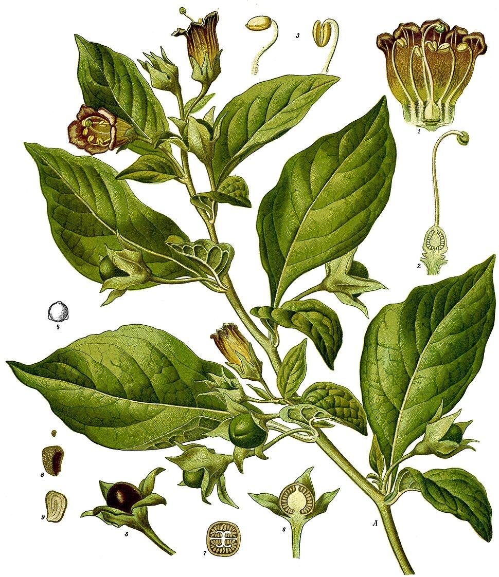 Atropa belladonna - Köhler–s Medizinal-Pflanzen-018