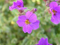 Aubrieta deltoides2