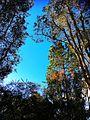 Australian trees.jpg