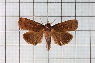 <i>Avitta</i> genus of insects