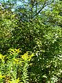 B52 Ilex opaca (American Holly) Distance.jpg