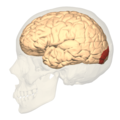BA18 - Secondary visual cortex (V2) - lateral view.png