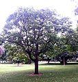 BCBG Aleurites moluccana 01.jpg