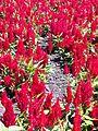 BCBG Celosia Plumosa 01.jpg