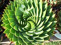 BCSS gloucester branch auction - The national agave collection (6207023091).jpg