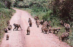 Baboon - A troop of baboons