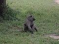 Baboon in Queen Elizabeth National Park.jpg