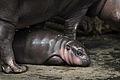 Baby dwergnijlpaardje Flory (4022911547).jpg