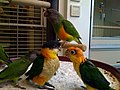 Baby parrots in a pet shop-8a.jpg