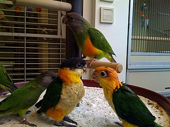 English: Baby parrots in a pet shop. A Senegal...