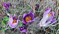 Backsippa (Pulsatilla vulgaris) vid Dotorpsskolan, Falköping 9229.jpg