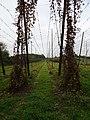 Bailleul les houblonnières, Hommelpap (6).jpg