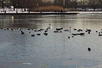 Baisley Pond Park - Baisley Pond hosts a large and diverse population of waterfowl in winter.