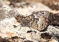 Balkan Grayling (44289479205).jpg