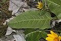 Balsamorhiza careyana 1846.JPG