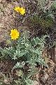 Balsamorhiza hookeri 7915.JPG