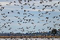 Banded Stilts and Red-necked Avocets (24496580235).jpg