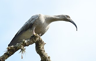 Plumbeous ibis - Theristicus caerulescens taken in Rocha Department, Uruguay