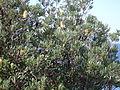 Banksia zoom (3394699372).jpg
