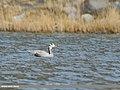 Bar-headed Goose (Anser indicus) (48051234426).jpg