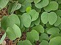 Bauhinia purpurea 28.jpg