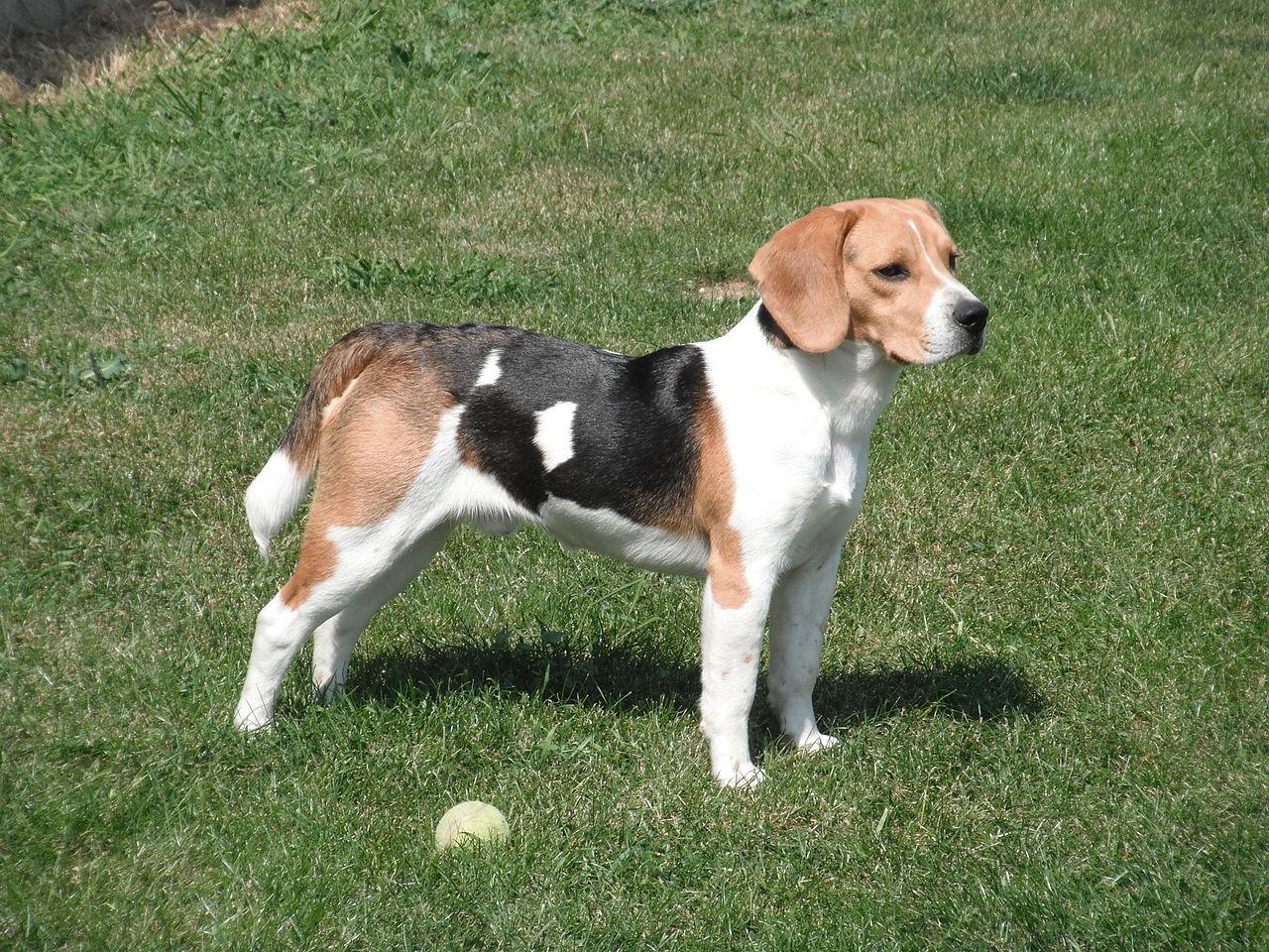 Hodowla psów beagle