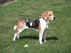Beagle Rasa Psa Wikipedia Wolna Encyklopedia